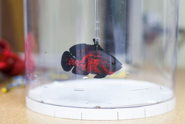 NYU Tandon engineers created a biomimetic robot that looked and swam like a real red tiger oscar.
