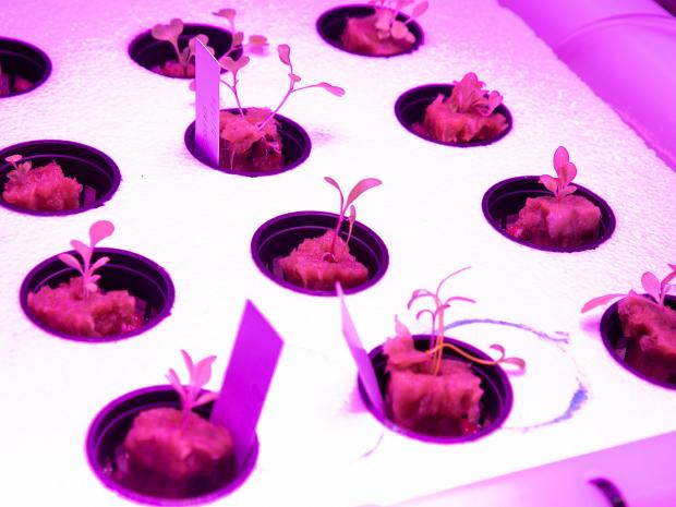 sprouts growing in indoor lab space