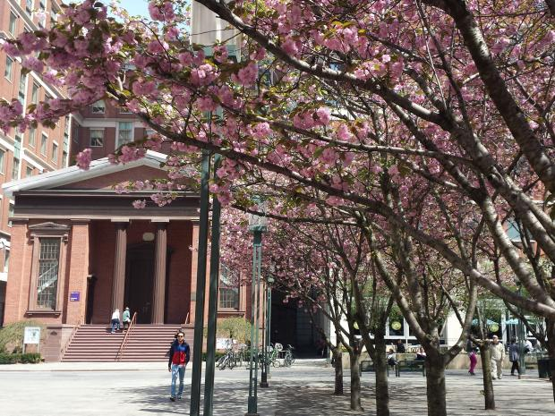 cherry blossom tree in bloom at MetroTech Commons
